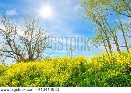 Early spring rapeseed flowers blooming in the countryside near Bordeaux, France