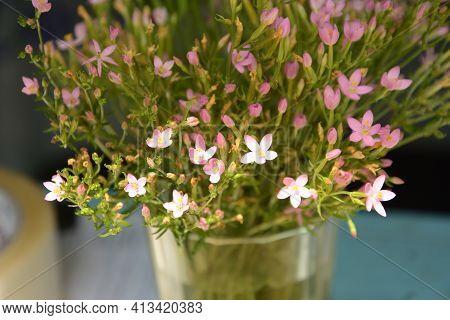 Common Centaury - Centaurium Erythraea.a Flowering Common Centaury, Centaurium Erythraea, Plant Grow