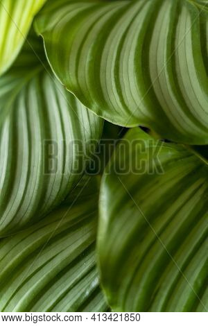 Calathea Plant. Green Leaf Nature Concept Tropical Background Pattern Texture In High Resolution