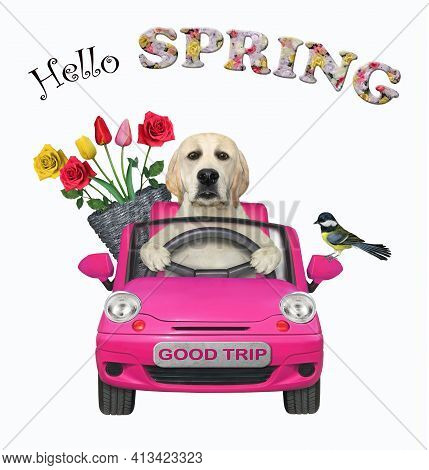 A Dog Labrador With A Pail Of Flowers Is Driving A Pink Car. Hello Spring. White Background. Isolate