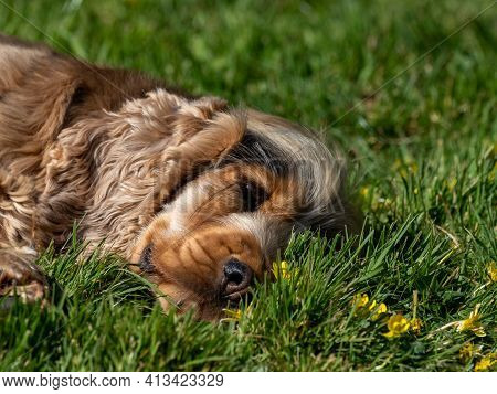 Sable Coloured English Show Cocker Spaniel Lying On Grass In Sunshine.