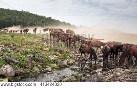A Herd Of Horses Drinking From The River. A Herd Of Horses Walks And Kicks Up Dust.