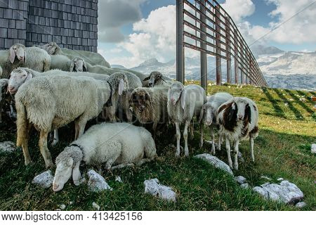 Sheep In Alpine Meadow.group Of Sheep Grazing In Paddock In Austrian Countryside.herd Of Sheep In Th