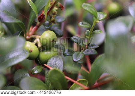 Macro Of Green Unripe Berries On Lowbush Cranberry.