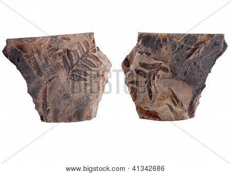 Fossilized seed fern leaf