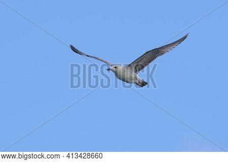 Caspian Gull Larus Cachinnans Flying On Blue Sky