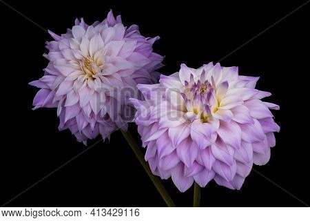 Beautiful Flowers, Pink Dahlias Isolated On A Black Background
