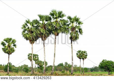 Trees, Sugar Palm Trees Line Isolated On White Background.