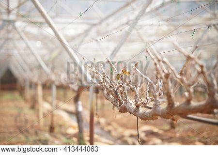Grape Fruit Plant Tree Growing In Vineyard Farm