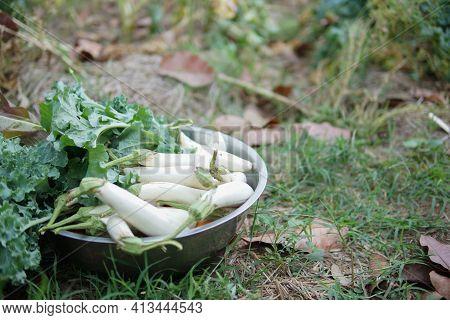 Fresh White Radish Vegetable In Bowl On Ground.