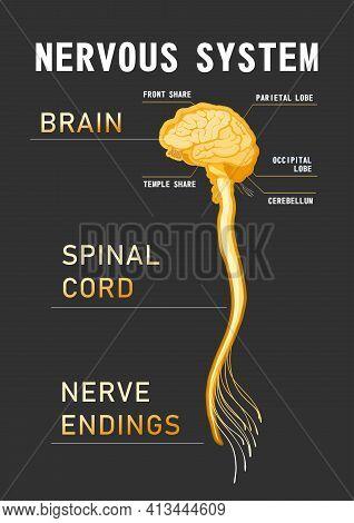 Human Central Nervous System, Brain, Spinal Cord, Nerve Endings, Vector Illustration, Educational Bl
