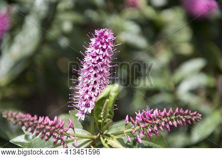 Beautiful Purple Tutini Flower, Also Called As Pukumani Pole