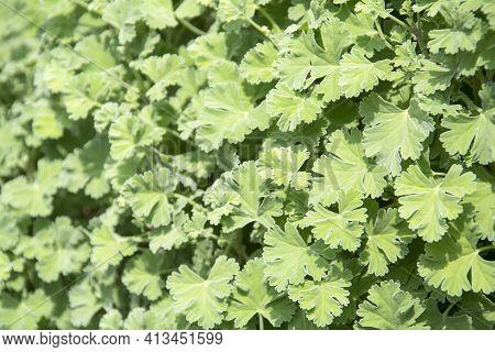 Nutmeg Scented Geranium Herb Growing In A Garden. It Also Called As Pelargonium Fragrans