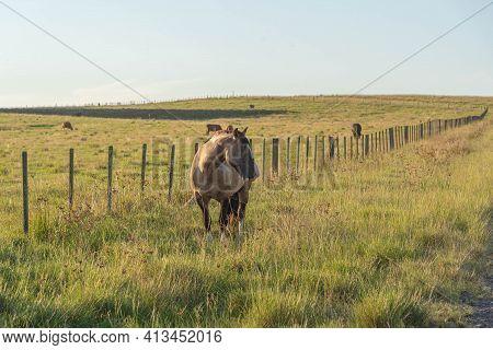 Creole Horse On Equine Farm In The State Of Rio Grande Do Sul In Brazil