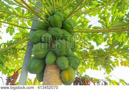 Fresh Papaya Fruits Attached To Papaya Tree