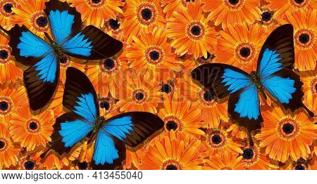 Bright Summer Background. Blue Tropical Butterflies On Bright Orange Gerbera Flowers. Colorful Gerbe
