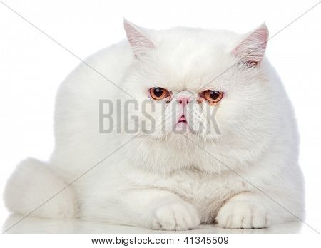 Beautiful exotic shorthair cat isolated on white background poster