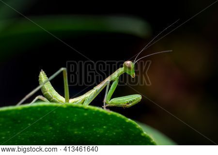 Praying Mantis Insect On The Green Leaf Of Plant. These Insects Used As Part Of An Integrated Pest M
