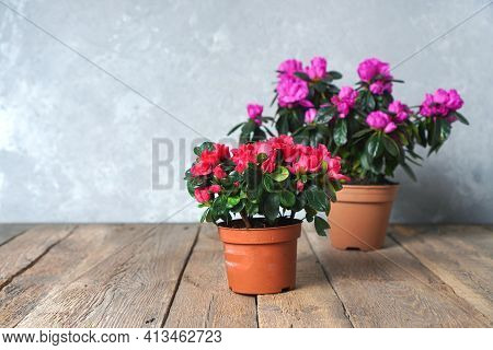 Houseplants. Beautiful Azalea Flowers In A Flowerpots. Flower Potting Background With Copy Space. Re