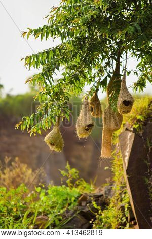 Nests Of Weaver Bird Hanging To The Tree Branches. Used Selective Focus.