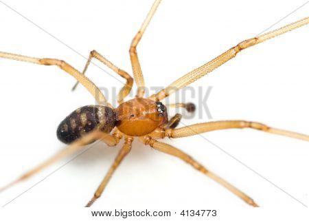 Cupboard Spider