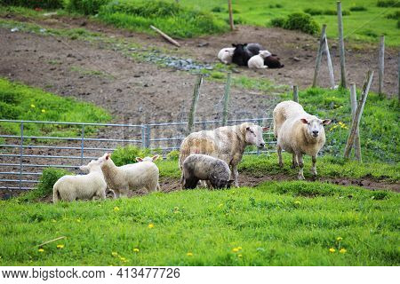 Norway Farm Sheep Lambs On Field, Summer View