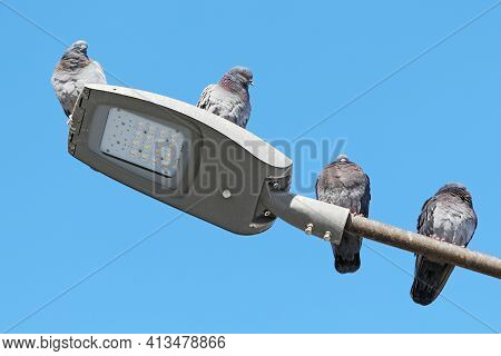 Four Pigeons Resting On The Illumination Lamp, On A Cold Winter Day. The Pigeons Were Probably Attra