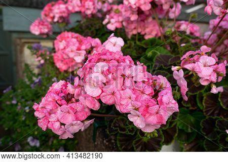 Pink Garden Bedding Geranium Flowers Blooming In Summer Garden