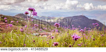 Beauty Of Verbena Bonariensis Flowers Field With Mountain Blur Background At Phu Thap Boek, Phetchab