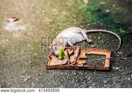 Dirty Rats Are Trapped By Using Food As Bait. A Rusted Trap Clamps Down The Rat's Neck To Death. Rat