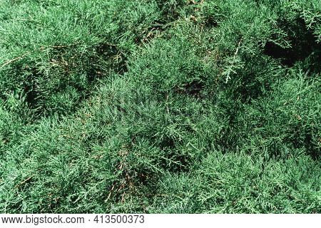 Evergreen Cypress Or Cupressus, False Cypress Or Chamaecyparis Close-up Tree Branches Background, Ho