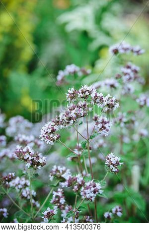 Fresh Oregano Or Origanum Vulgare Plant Flower Buds Close-up On Green Leaves Background, Vertical Ou