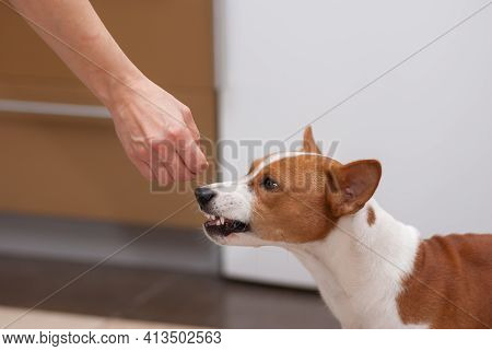 Young Basenji Dog Is Snarling When Perfume Smelling Human Hand Spoke To Its Snout