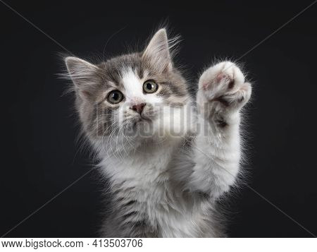 Head Shot Of Adorable Blue Tabby Mackerel Siberian Forestcat  Cat Kitten. Looking At Lens With One P