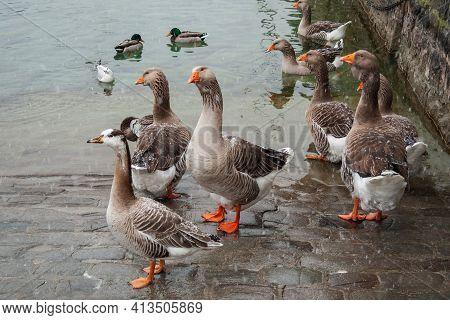 Flock Of Wild Greylag Goose (anser Anser) Have Settled For The Winter In The City. Fattened Birds Ne