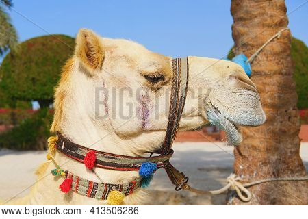 Closeup Portrait Of White Purebred Friendly Dromedary, Also Called The Somali Camel Or Arabian Camel