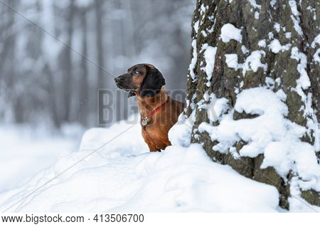 Young Bavarian Mountain Hound Dog Standing At Winter Nature On Snow