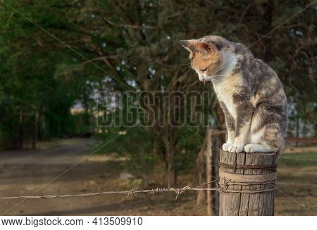 Cat Sitting On A Farm Fence Pole Looking Down - Beautiful Calico Cat