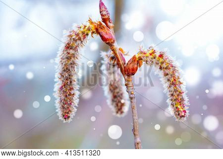 A close up of male catkins on aspen in the april day. The flowers of aspen against the blue bokeh sky