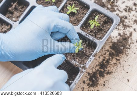 Marigold Seedlings Cultivation And Dipping, The Process Of Marigold Dipping