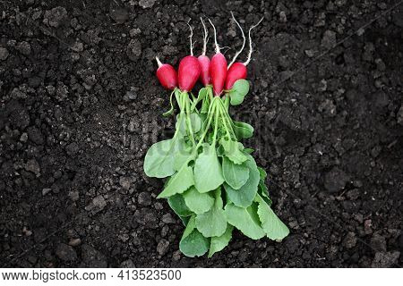 Several Bright Red Fresh Radishes With Green Leaves, Just Plucked From The Garden, Lie On The Ground