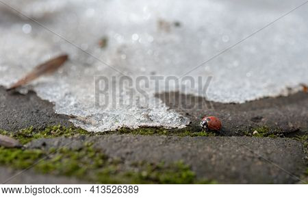 Early Spring. Ladybird Woke Up After A Hibernation In A City Park.