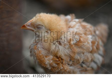 A Small Sickly Brown Chicken Of The Breed Of Broiler Sasso Xl 551, Stands Alone On The Side With Clo