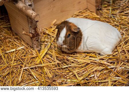 Close-up Of White-brown Hair Domestic Guinea Pig Cavy On The Straw. Lively Nature Of Countryside.