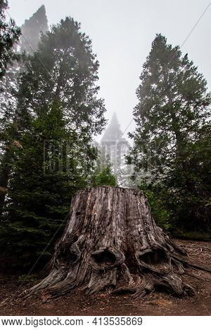 Huge roots of a giant sequoia. Foggy morning in the forest. Sequoia Park in California, USA. The natural range of the genus is the Pacific coast of North America. Travel to America.