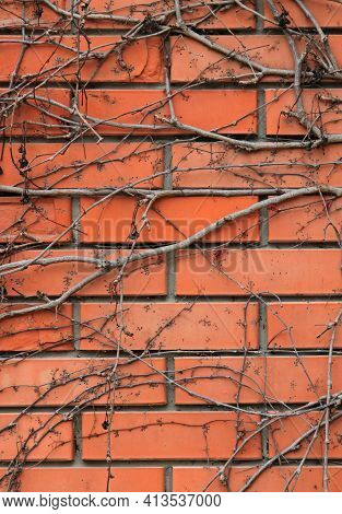 The Background And Texture Of The Red Brick Wall, With Dry Creeping Vines. Light-red Brick Surface W