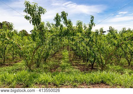 Peach Plantation