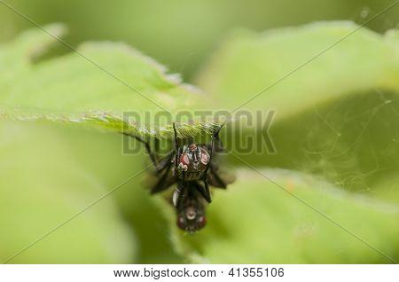 Macro Mating Fly