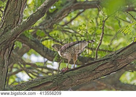 Coopers Hawk Watching While Eating Its Catch In Elk Grove Village, Illinois