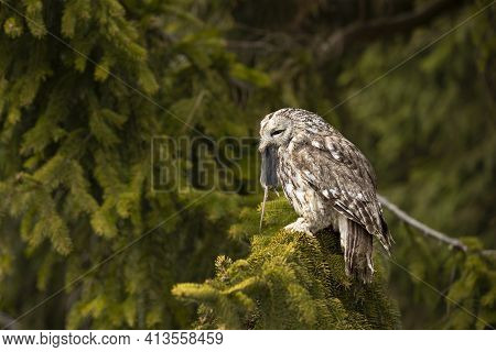 Tawny Owl In The Forest With Mouse In The Beak. Brown Owl (strix Aluco) Sitting On Tree In The Fores